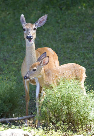 whitetail deer doe with a spotted fawn