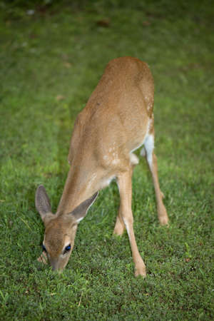 whitetail fawn thats grazing in green grass