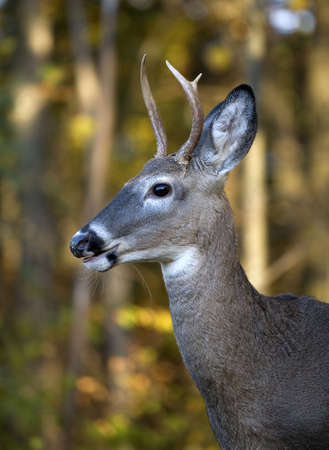 whitetail buck on a forest edge in autumn Stock Photo - 3791697