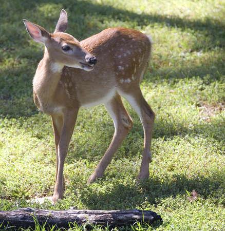 deer fawn thats on a grassy green field Фото со стока