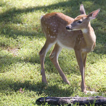 whitetail deer fawn thats on a green field