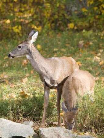a pair of whitetail does sharing a meal in fall
