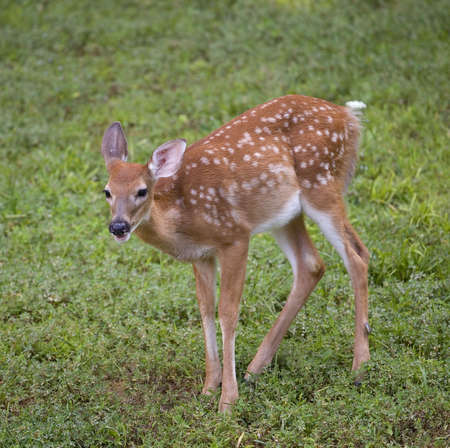 whitetail in spots on green spring grass photo