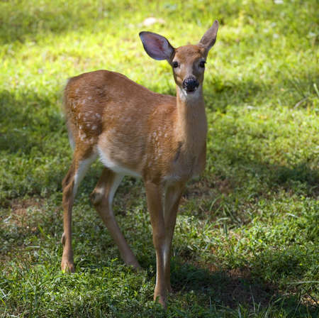 whitetail deer young enough to still have spots