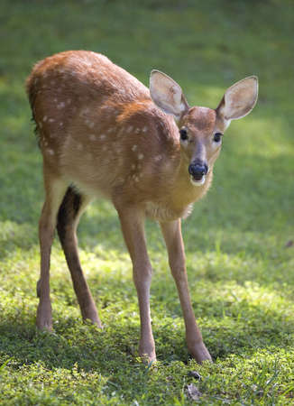 whitetail fawn on grass still in spots photo