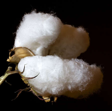 white cotton bowl that is ready to harvest 免版税图像