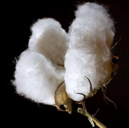 黒を撮影した綿の熟したボウル