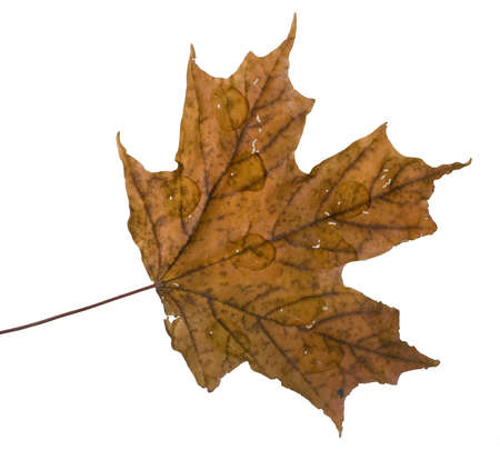 fall leaf in full color that has water on top