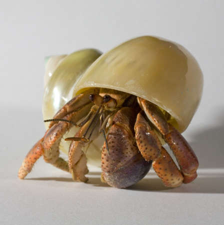 hermit: hermit crab that is looking out of its shell Stock Photo