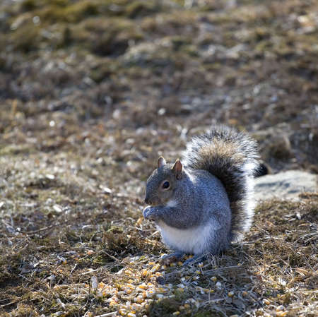 squirrel gorging itself on a big pile of corn