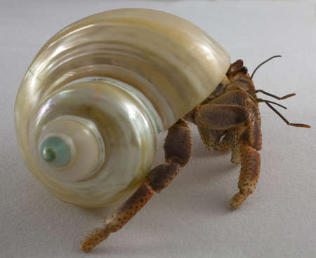 hermit crab leaving with its shell on white