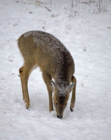 whitetail door searching the snow for food Stock Photo - 4399941