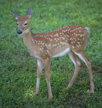 whitetail deer: whitetail deer fawn in spots on a green lawn
