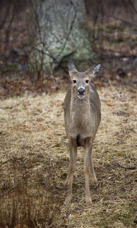 drool: whitetail deer doe in a forest that is drooling