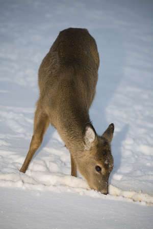whitetail deer hungry enough to dig through snow