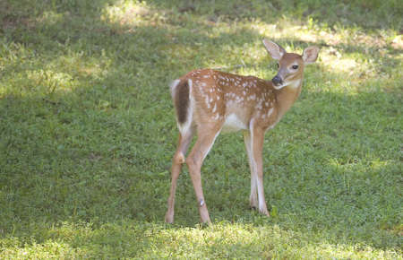 whitetail deer: whitetail deer fawn looking back on green grass Stock Photo