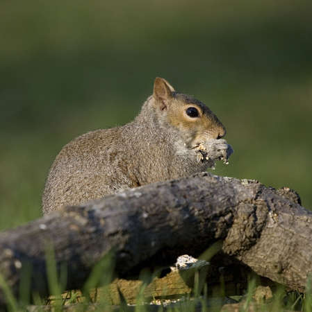 robbing: tree squirrel that is robbing from the bird seeds