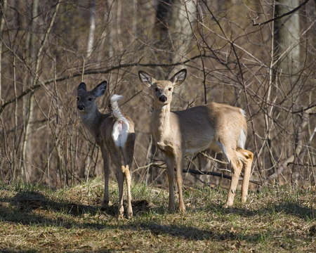 whitetail deer: whitetail deer with one of them mooning the photographer