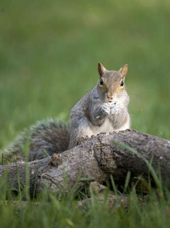 tree squirrel that is eating but food and white powder is flying Stock Photo