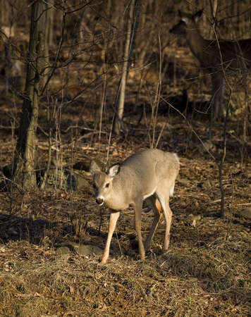 sneaking: whitetail doe sneaking from the edge of a forest Stock Photo