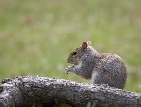 devouring: tree squirrel that is devouring seeds it found on grass