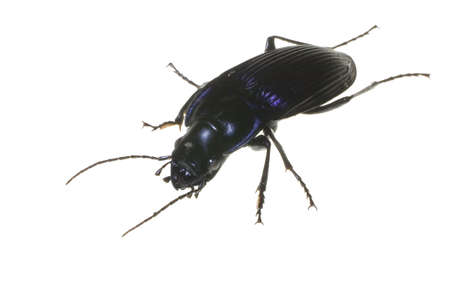 big black bug that is isolated on a white background