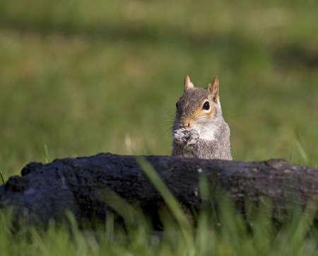gorging: tree squirrel gorging itself with white powder on its nose