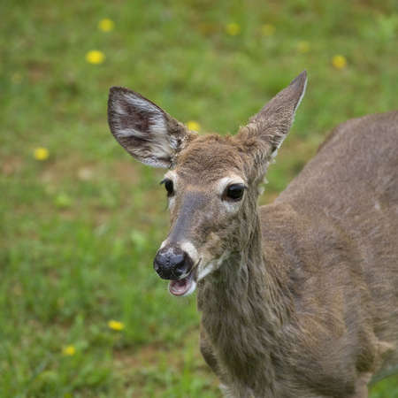 whitetail doe in the spring that needs a shave badly