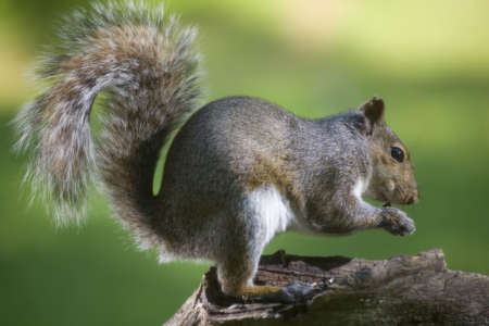 bowing: tree squirrel that looks like it is bowing in prayer