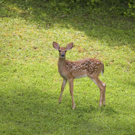 very young whitetail deer that is standing in a grassy clearing 版權商用圖片