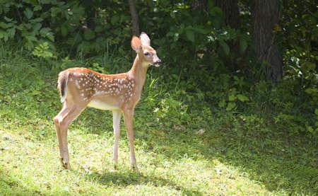 オジロ鹿シカ子鹿を厚い森の近くの正午に 写真素材