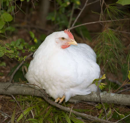 roosting: chicken hen that is roosting on a fallen log