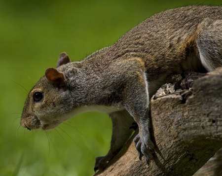 sneaking: tree squirrel that looks like it is sneaking up on something Stock Photo