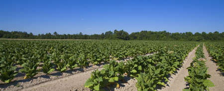 tobacco plants growing on a farm somewhere in North Carolina Stock Photo