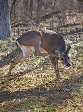 whitetail doe that is scratching in itch on its ear