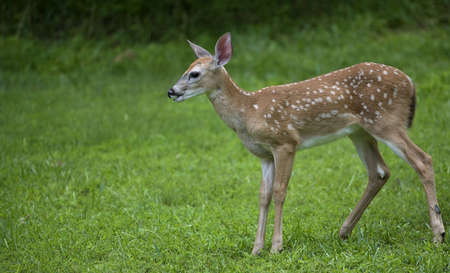 deer  spot: whitetail deer fawn on grass that looks like it is ready to bolt