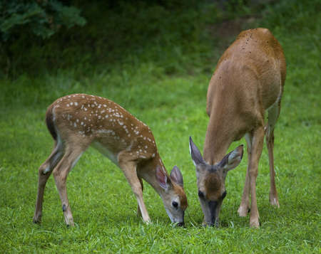 doe and a fawn sharing a meal on a green field