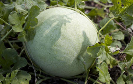 melon that is still growing in a small garden