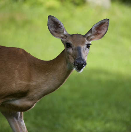 whitetail doe that looks like it is staring at the camera