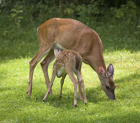 草を食べると、doe の看護は whitetail 子鹿
