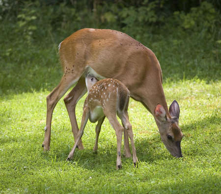 whitetail fawn that is nursing on a doe as it eats grass
