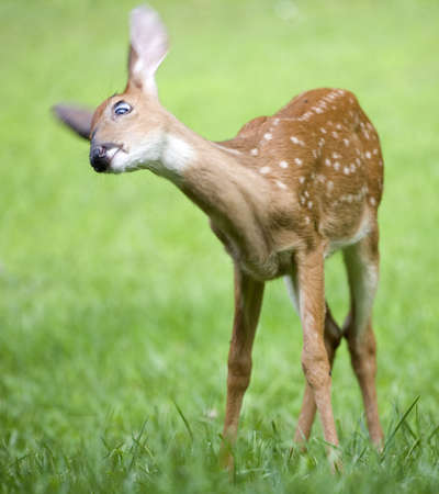 whitetail fawn with eye in focus moving to get rid of flies