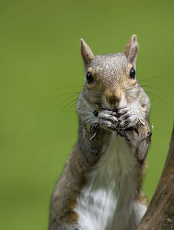 tree squirrel with a green background eating lots of seeds Stock Photo - 5453283