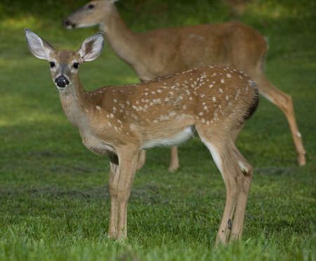 whitetail deer fawn that has a doe standing far behind Stock Photo