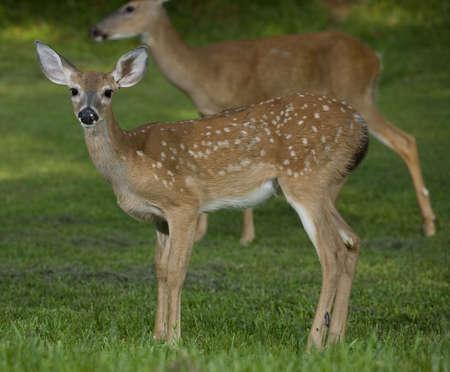 deer  spot: whitetail deer fawn that has a doe standing far behind Stock Photo