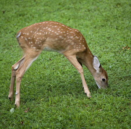 on a field of green grass a whitetail deer fawn is eating