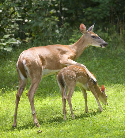 whitetail doe that looks like it is hugging a fawn photo