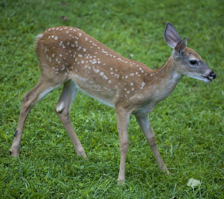 deer  spot: whitetail fawn with its mouth open on a greenfield Stock Photo