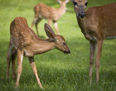 whitetail deer fawn closing its eyes because of flies