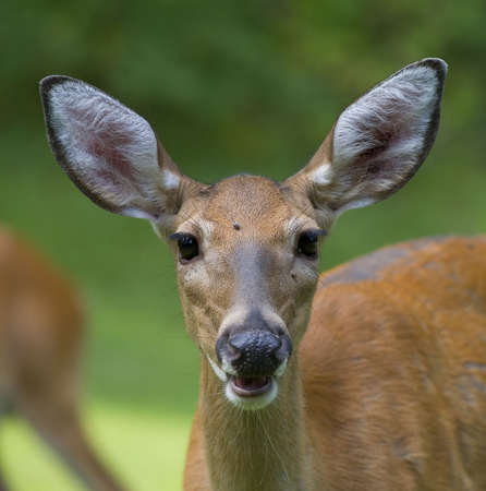 whitetail deer that is very close to the camera Stock Photo - 5524548